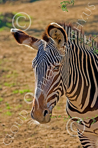 Zebra 00015 Zebra with big ears and long whiskers, by Peter J Mancus