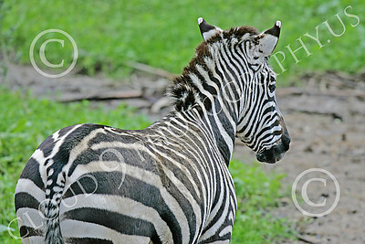 Zebra 00006 Back side of a standing zebra by Peter J Mancus
