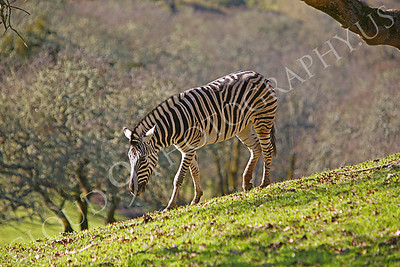 Zebra 00003 by Peter J Mancus