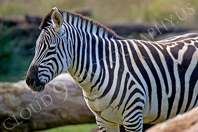 Zebra 00002 by Peter J Mancus