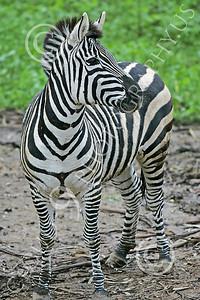 Zebra 00007 A standing zebra by Peter J Mancus