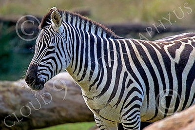 Zebra 00010 A standing zebra by Peter J Mancus