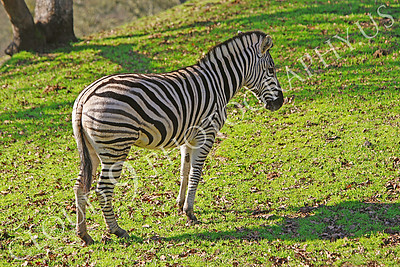 Zebra 00005 by Peter J Mancus