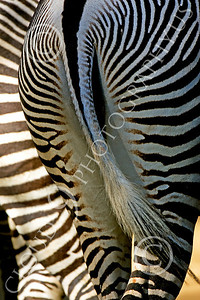 Zebra 00013 A zebra swishes its tail by Peter J Mancus