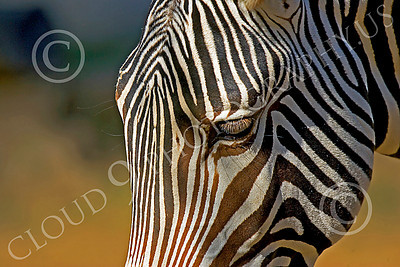 Zebra 00022 A zebra's stripes, by Peter J Mancus