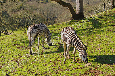Zebra 00004 by Peter J Mancus