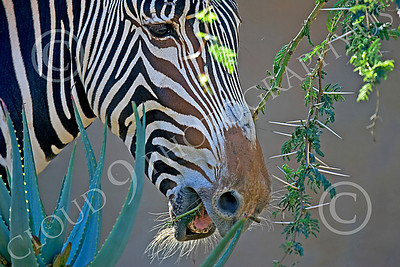 Zebra 00020 A feeding zebra, by Peter J Mancus