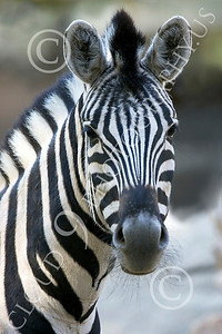 Zebra 00009 A zebra with long whiskers by Peter J Mancus