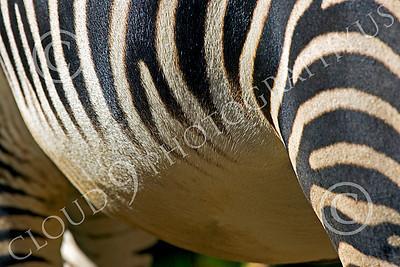 Zebra 00014 A zebra's belly by Peter J Mancus