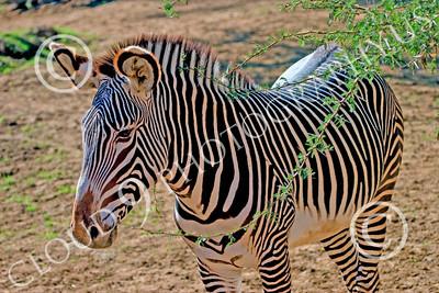 Zebra 00026 Standing Zebra, by Peter J Mancus