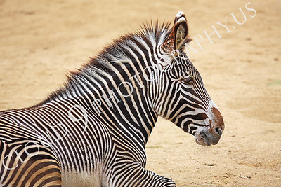 AN-Zebra 00016 Zebra by Peter J Mancus
