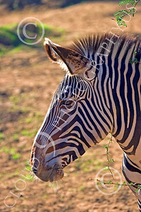 Zebra 00017 Zebra's side profile, by Peter J Mancus