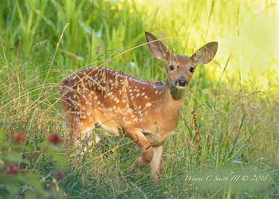 Fawn alerted to company in corn field