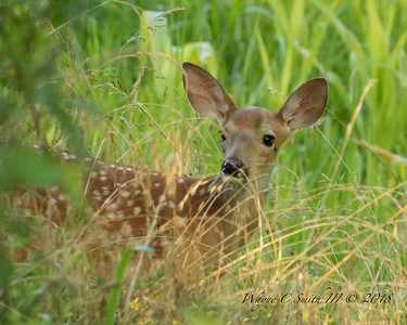 Fawn peeks out of the corn field