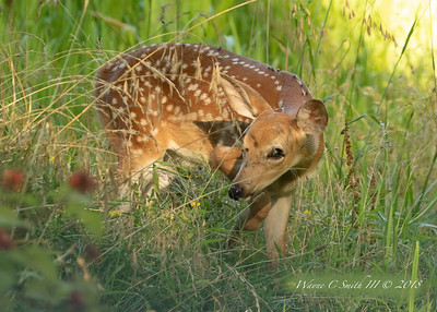 Curious fawn finds the wild raspberries