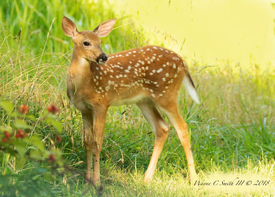 Fawn finds the wild raspberries