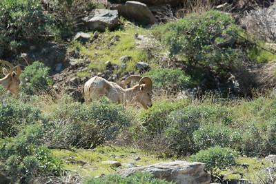 Young Big Horn Sheep Rams grazing