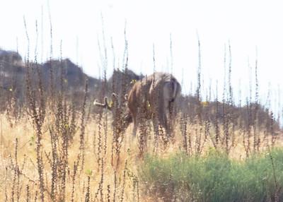 Mule Deer Mule Deer in velvet Antelope Island UT