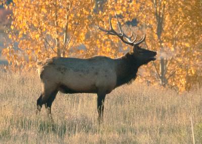 Bull Elk Frosty Breath
