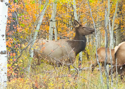 Cow Elk Sniffing for Bull