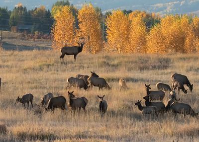 Bull Elk Guards Harem