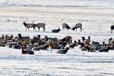 Elk Wintering at Jackson Hole WY