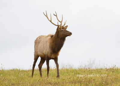 Elk Bull & Harem