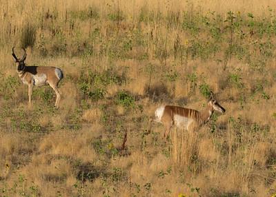 Pronghorn Antelope Buck Eyes Doe for His Harem