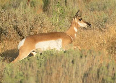 Pronghorn Antelope Doe