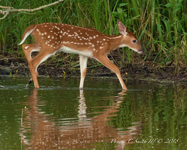 Fawn walking the shoreline of Lake Galena