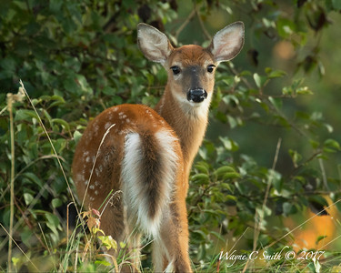 Spotted by one of the fawns