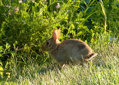 Eastern Cotton Tail
