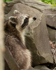 Raccoon Exploring