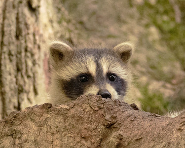 Raccoon peering from home in tree