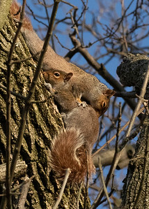 Frisky Grey Squirrels