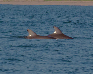 Tagged Dolphins out the mouth of the Intercoastal Waterway