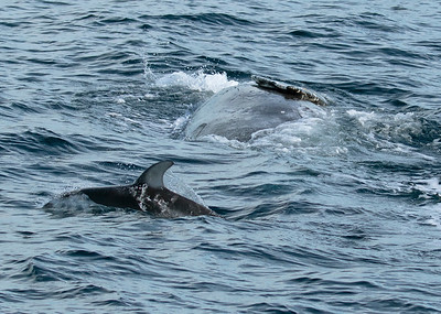 White Sided Dolphins Playing with Grey Whale