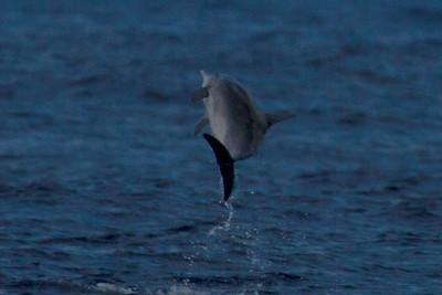 Spinner Dolphin in Niihau channel Kauai, HI