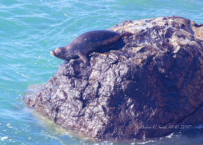 Harbor Seal Sunning in Surf