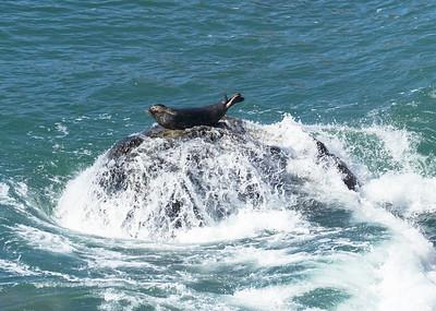 Harbor Seal Sunning in Surf