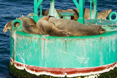 Sea Lions on Harbor Bouy Napping