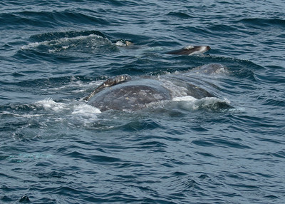 Grey Whale On Back With Pacific White Sided Dolphins