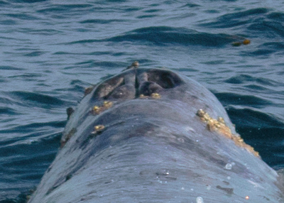 Grey Whale Blow hole