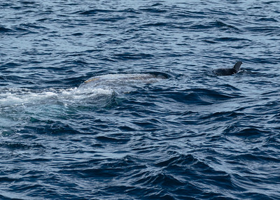 Risso's Dolphin and Grey Whale