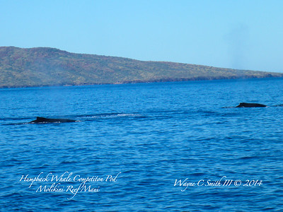 Molikini Maui, Humpback Whales in Competition Pod