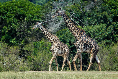 Masai giraffe have thinner white marks than the reticulated giraffe with irregularly shaped dark patches, Kenya