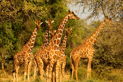 Herd of Reticulated giraffe