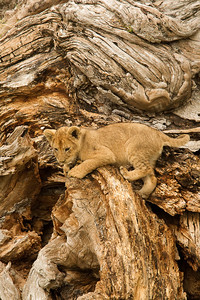 Lion cub on dead tree, Kenya