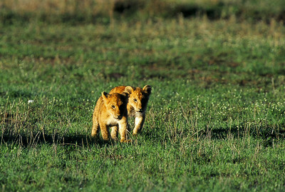 Lion cubs following mother as male lion calls for dinner