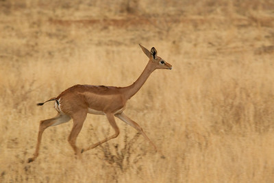 Gerenuk trots away at sunset
